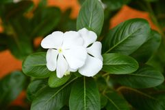 Catharanthus roseus Stock Image