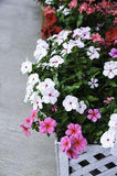 Catharanthus roseus Stock Images