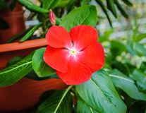 Catharanthus rosso nel giardino immagini stock