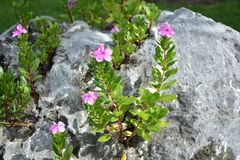 Catharanthusbloemen op de rotsen Stock Foto