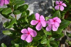 Catharanthusbloemen op de rotsen Royalty-vrije Stock Foto's