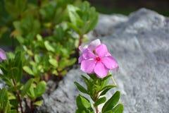 Catharanthusbloemen op de rotsen Royalty-vrije Stock Fotografie
