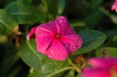 Catharanthusroseus Royalty-vrije Stock Foto