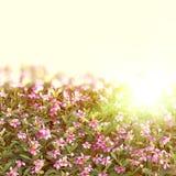 catharanthusroseus Royaltyfria Bilder