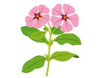 catharanthusroseus Arkivfoton