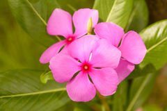 Catharanthusroseus royalty-vrije stock afbeelding