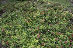 Catharanthusroseus royaltyfri bild
