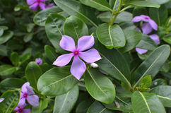 Catharanthusroseus royalty-vrije stock foto's