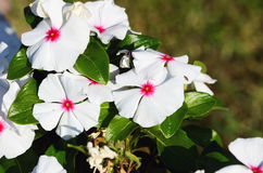 Catharanthusroseus Stock Foto's