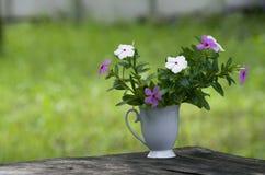 Catharanthusroseus i kaffekopp royaltyfria bilder