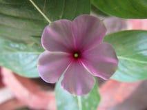Catharanthusroseusen som gemensamt var bekant som den Madagascar vintergrönan eller rosa rosig vintergröna för vintergröna eller  Royaltyfri Bild