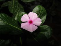 Catharanthusroseusen som gemensamt var bekant som den Madagascar vintergrönan eller rosa rosig vintergröna för vintergröna eller  Royaltyfri Fotografi