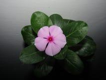 Catharanthusroseusen som gemensamt var bekant som den Madagascar vintergrönan eller rosa rosig vintergröna för vintergröna eller  Royaltyfria Bilder