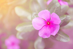 Catharina roseus or Madagascar rosy periwinkle,pink flower,pink tone Royalty Free Stock Images