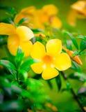 Cathartica Allamanda, цветки Стоковое Изображение