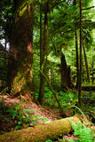 Cathedral Grove Royalty Free Stock Photos