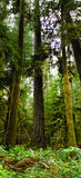Cathedral Grove Royalty Free Stock Images