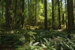 Cathedral Grove, BC Royalty Free Stock Photo