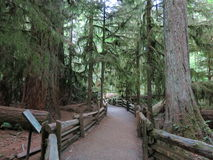 Cathedral Grove Royalty Free Stock Image