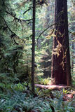 Cathedral grove. Picture of Douglas fir, taken at  Cathedral Grove,BC,Canada Stock Photo