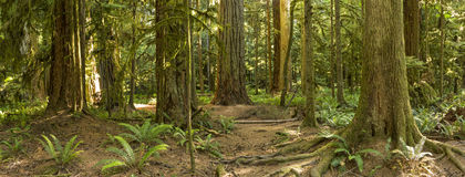 Cathedral Grove Roots and Ferns Panorama. The roots and trunks of some very large red cedar and Douglas Fir trees in Cathedral Grove, MacMillan Provincial Park Royalty Free Stock Image
