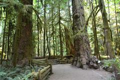 Cathedral grove Vancouver Island Canada. Cathedral grove on Vancouver Island Canada is an rain forest, there are a lot of cider trees in the forest Stock Photos