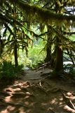 Cathedral grove Vancouver Island Canada. Cathedral grove on Vancouver Island Canada is an rain forest, there are a lot of cider trees in the forest Stock Photography