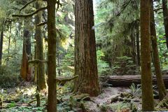 Cathedral grove Vancouver Island Canada. Cathedral grove on Vancouver Island Canada is an rain forest, there are a lot of cider trees in the forest Royalty Free Stock Images