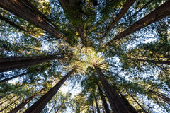 Cathedral of Sequoias and Redwoods in Muir Woods Royalty Free Stock Images