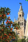 Cathedral of Seville, Spain. A orange fruit tree in front of a the Cathedral of Seville in Spain Stock Photography