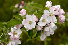 Cherry blossoms. Spring flowering of trees. Stock Photography