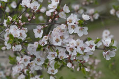 Cherry blossoms. Spring flowering of trees. Royalty Free Stock Image