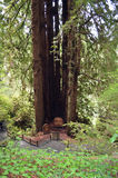 Cathedral Tree in the Redwoods Royalty Free Stock Image