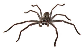 Catherine's Huntsman Spider Royalty Free Stock Photos