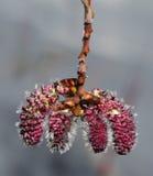Catkin цветка дерева Aspen стоковое изображение