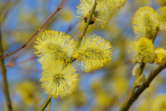 Catkin Royalty Free Stock Image