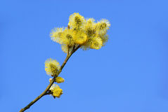 Catkin Stock Photography
