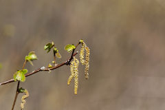 Catkin buds Stock Photo