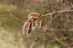 Catkin Royalty Free Stock Images