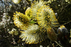 Catkin of sallows Stock Images