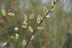 Catkin of sallows Stock Image