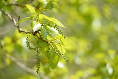 Catkin spring Stock Images