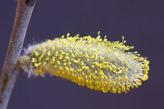 Catkin willow Stock Photography