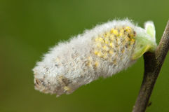 Catkin on willow tree macro detail. Willow on salix tree spring growth as sun comes out royalty free stock photos