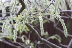 Catkins вися от ветви дерева Стоковые Фото