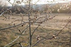 Catkins на дереве Стоковое Изображение RF