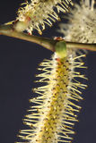 Catkins Stock Images