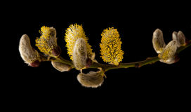 Catkins Royalty Free Stock Images