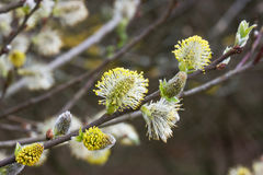 Catkins Royalty Free Stock Photo
