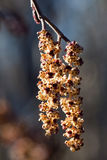 Catkins of alder (Alnus glutinosa) in spring Stock Images